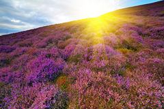 Colorful hill slope covered by violet heather flowers. Royalty Free Stock Images