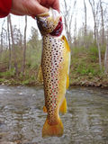 Colorful Holdover Brown Trout stock photography