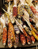 Colorful holiday corn. Colorful Indian holiday corn waiting for a conucopia or other holiday decoration Stock Images