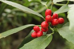 Colorful Holly berries in the garden in winter, Illex aquifolium royalty free stock images