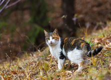 Colorful home cat in the forest for hunting. Colorful home cat in the forest looking for hunting Royalty Free Stock Image