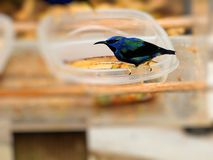 Colorful honeycreeper Stock Images