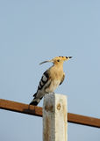 Colorful Hoopoe Royalty Free Stock Photo