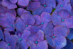 Colorful hortensia background. Colorful blue hortenisa background with a bloom royalty free stock photos