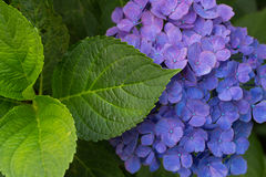 Colorful hortensia background. Colorful blue hortenisa background with a bloom and leafs stock image