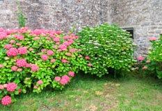 Colorful hortensia bush Royalty Free Stock Photos