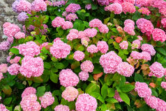 Colorful hortensia detail Royalty Free Stock Images