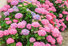 Colorful hortensia detail Royalty Free Stock Photos