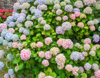 Colorful hortensia detail Royalty Free Stock Image