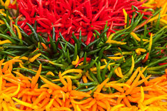 Colorful of Hot Chili Stock Photography