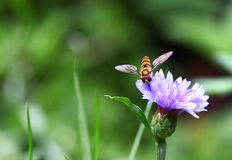 Colorful hover fly Stock Photo