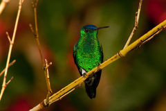Colorful Hummingbird on a Branch. A green and blue hummingbird sitting on a branch Stock Photo