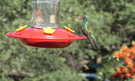 Colorful Hummingbird Royalty Free Stock Image