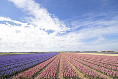 Colorful hyacinth fields in the Netherlands Royalty Free Stock Image