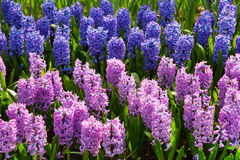 Colorful hyacinth flowers blossom in dutch spring garden Keukenhof, Holland Stock Photos