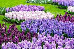 Colorful hyacinth flowers blossom in dutch spring garden Keukenhof, Holland Stock Photo