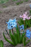 Colorful Hyacinth flowers growing in spring garden. Beauty pink and blue Hyacinthus growth on flowerbed stock photo