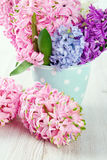 Colorful hyacinth flowers in a polka dot cup Royalty Free Stock Image