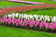 Colorful hyacinth, tulips flowers blossom in spring garden Royalty Free Stock Photography