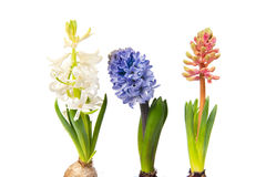 Colorful Hyacinths Royalty Free Stock Photos