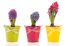 Colorful Hyacinths Royalty Free Stock Image