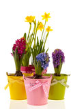 Colorful Hyacinths and daffodils Stock Image