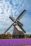 Colorful hyacinths frame working windmill in Holland Royalty Free Stock Image