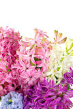 Colorful hyacinths over white Royalty Free Stock Image
