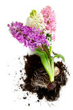 Colorful hyacinths over white Stock Images