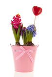 Colorful Hyacinths in pink bucket Royalty Free Stock Photo