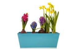 Colorful Hyacinths and daffodils Stock Image