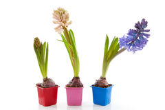 Colorful hyacinthus flower Stock Images