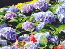 Colorful hydrangea flower bouquet Royalty Free Stock Photo