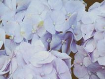 Colorful hydrangea flower bouquet Stock Image