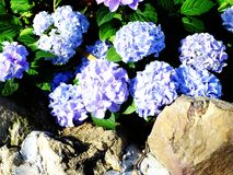 Colorful hydrangea flower bouquet Royalty Free Stock Images