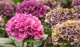 Colorful Hydrangea flower heads in a nursery Stock Image