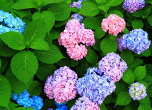 Colorful Hydrangea Flowers Royalty Free Stock Images