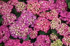 Colorful hydrangea flowers Stock Photography