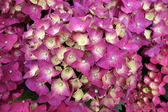 Colorful hydrangea flowers Stock Photo