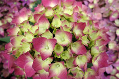 Colorful hydrangea flowers Stock Photos