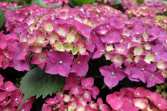 Colorful hydrangea flowers Royalty Free Stock Image