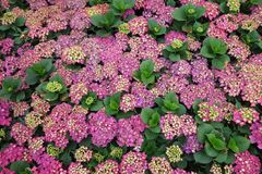 Colorful hydrangea flowers Stock Images