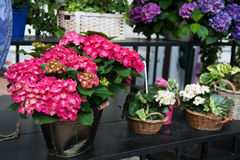 Colorful hydrangea flowers in the pot in spring and summer Stock Photos