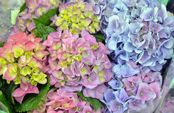 Colorful hydrangea flowers Royalty Free Stock Photos