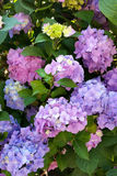 Colorful hydrangea. Garden with colorful hydrangea flowers Royalty Free Stock Images