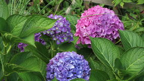 Colorful Hydrangea or hortensia flowers stock video