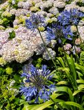Agapanthus Hydrangeas. Colorful Hydrangea plants share a garden with Agapanthus stock photos