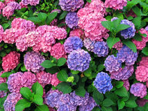 Colorful hydrangeas. Diffrent colorful hydrangeas in the garden - horizontally Stock Photography