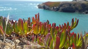 Colorful iceplant perched on an ocean cliff. Green, red and blue colors pop in this scene on the California coastline royalty free stock photos