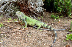 Colorful Iguana 1. Colorful iguana resting at base of tree Royalty Free Stock Image